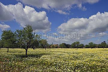 Spanien  Mallorca - Fruehlingsblumen auf einem Feld in Cas Concos