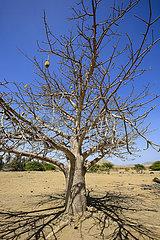 Affenbrotbaum  Fonte Vincente  Boa Vista  Kapverden