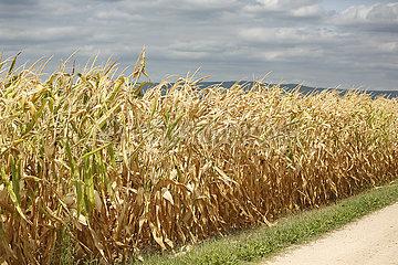 Ingelheim  Deutschland  vertrocknete Maispflanzen auf einem Feld