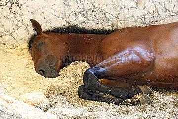 Neuenhagen  Pferd schlaeft auf Saegespaenen in seiner Box