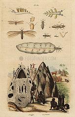 Harvester termite and mound  and sea slug.