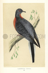 Passenger pigeon  Ectopistes migratorius. Extinct.