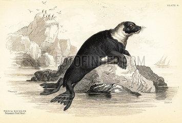 Harbour seal  Phoca vitulina.