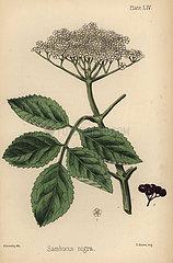 Black elder tree  Sambucus nigra.