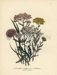 Milfoil and Marshallia species.