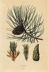 Corsican pine tree  Pinus nigra subsp. laricio.