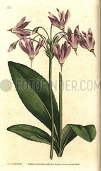 American cowslip or Mead's dodecatheon  Dodecatheon meadia.