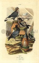Pigeon Columba livia breeds: Pigeon turc ordinaire  bai dore suisse  bagadais batard