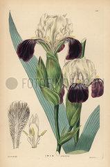 Lovely iris  Iris germanica (Iris amoena).