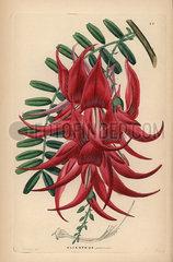 Crimson glory pea  Clianthus puniceus.