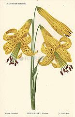 Lemon lily  Lilium parryi.