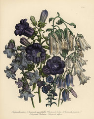 Bellflower or Campanula species.