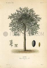 Olive tree  Olea europaea.