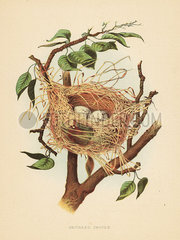 Nest and eggs of the orchard oriole  Icterus spurius.