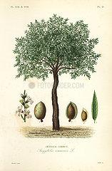 Almond tree  Prunus dulcis.
