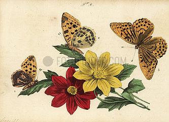 Fritillary butterflies.