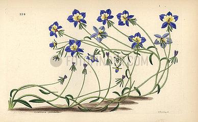 Flatface calicoflower  Downingia pulchella.