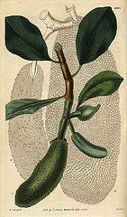 Cempedak  Artocarpus integer.