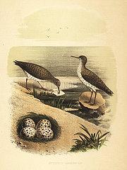Spotted sandpiper  Actitis macularius.