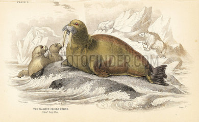 Walrus  Odobenus rosmarus.