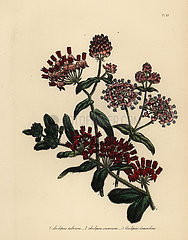 Swallow-wort or Asclepias species.