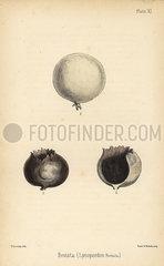 Puffball or puff-fist  Bovista plumbea (Lycoperdon bovista).