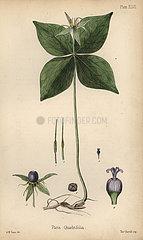 Herb of Paris  Paris quadrifolia.