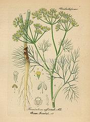 Fennel  Foeniculum vulgare.