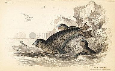 Common seal  Phoca vitulina.