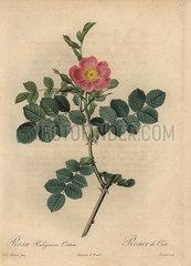 Pink sweetbriar rose  Rosa rubiginosa.