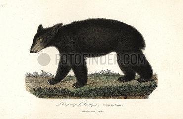 American black bear  Ursus americanus.