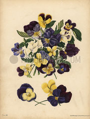Pansies  Pensees  or Heart's Ease  Thoughts.