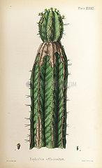 Spurge  Euphorbia officinarum.