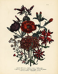 Lychnis and campion species.