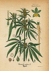 Marijuana or cannabis  Cannabis sativa.
