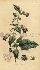 Deadly nightshade  Atropa belladonna.