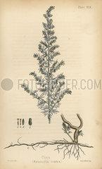 Cina or santonica  Artemisia santonica (Artemisia contra).