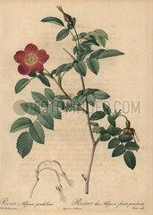 Scarlet alpine rose  Rosa pendulina.