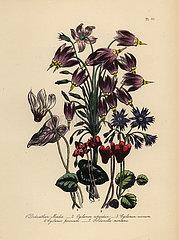 Cowslip  cyclamen and soldanella species.