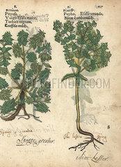 Green spurge  Euphorbia esula  and petty spurge  Euphorbia peplus.