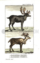 Male and female reindeer  Rangifer tarandus.