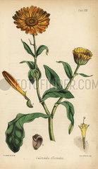 Marigold  Calendula officinalis.