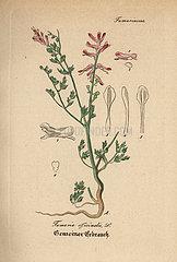 Fumitory  Fumaria officinalis.