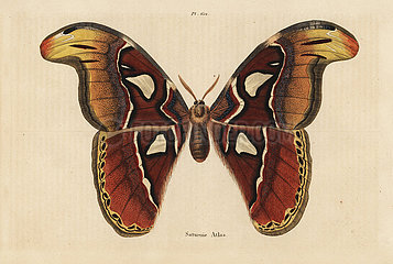 Atlas moth  Attacus atlas.