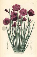 Douglas' grasswidow  Olsynium douglasii.