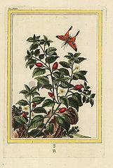 Pepper  Capsicum annuum.