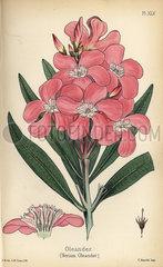Oleander  Nerium oleander.