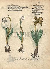 Spring snowflake  Leucojum vernum  and daffodil  Narcissus poeticus.