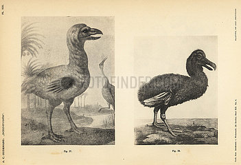 White dodos by Johann Walther and Jacob Hoefnagel.
