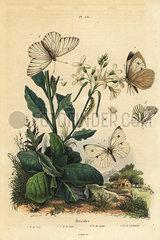 Pierid butterflies.
